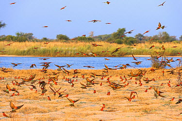 Southern Carmine Bee-eater (Merops nubicoides) flock flying in breeding colony, Namibia  -  Andrew Schoeman/ NIS