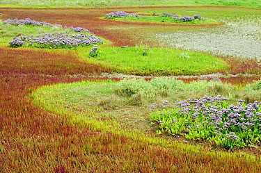 Common Glasswort (Salicornia europaea) and flowering lavender in marsh, Friesland, Netherlands  -  Jan Vink/ NiS