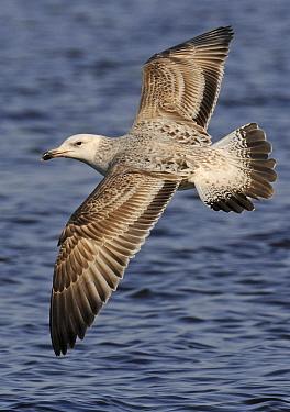 Caspian Gull (Larus cachinnans) flying, Netherlands  -  Ruurd Jelle van der Leij/ Buiten-beeld