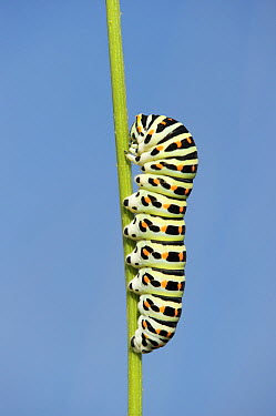 Oldworld Swallowtail (Papilio machaon) caterpillar feeding on Carrot (Daucus carota), Limburg, Netherlands  -  Loek Gerris/ NiS
