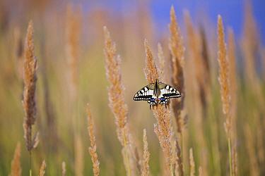 Oldworld Swallowtail (Papilio machaon) butterfly on grasses, Limburg, Netherlands  -  Loek Gerris/ NiS