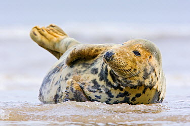 Grey Seal (Halichoerus grypus) in the surf, Donna Nook, Lincolnshire, England, United Kingdom  -  Bart  Breet/ NIS