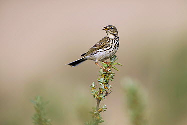 Meadow Pipit (Anthus pratensis) calling, Zuid-Holland, Netherlands  -  Hans Overduin/ NIS