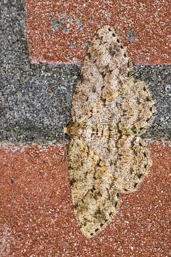 Small Engrailed Moth (Ectropis crepuscularia) on brick wall, Overijssel, Netherlands  -  Jan van Arkel/ NiS