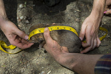 Coyote (Canis latrans) biologists measuring body length of two week old wild pup, Chicago, Illinois  -  Suzi Eszterhas