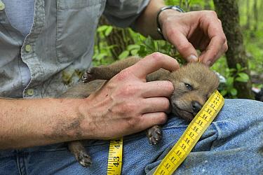Coyote (Canis latrans) biologist measuring body length of three week old wild pup, Chicago, Illinois  -  Suzi Eszterhas