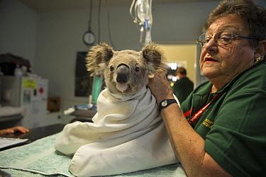 Koala (Phascolarctos cinereus) being treated for chlamydia, Port Macquerie, New South Wales, Australia  -  Suzi Eszterhas