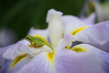 Japanese Tree Frog (Hyla japonica) on Common Sweet Flag (Acorus calamus) flower, Japan  -  Hiroya Minakuchi