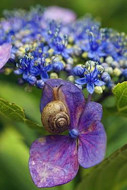 Snail (Euhadra peliomphala) on Hydrangea (Hydrangea sp) flower, Japan  -  Hiroya Minakuchi