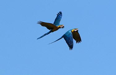 Blue and Yellow Macaw (Ara ararauna) pair flying, Hyacinth Valley, Brazil  -  Sean Crane