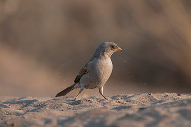 Southern Grey-headed Sparrow (Passer diffusus) foraging in sand, Kalahari Desert, Botswana  -  Sean Crane