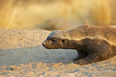 Honey Badger (Mellivora capensis) crawling in sand, Kalahari Game Reserve, Botswana  -  Sean Crane
