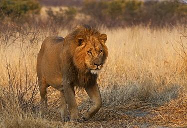 African Lion (Panthera leo) male, Kalahari Game Reserve, Botswana  -  Sean Crane