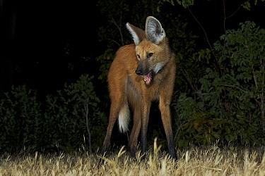 Maned Wolf (Chrysocyon brachyurus) at night, Piaui, Brazil  -  Sean Crane