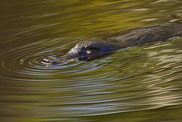 Platypus (Ornithorhynchus anatinus) swimming in watering hole, Flinders Chase National Park, Australia  -  Sean Crane