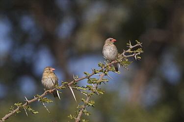 Red-billed Quelea (Quelea quelea) pair, Kwando Lagoon Camp, Linyanti Swamp, Botswana  -  Sean Crane