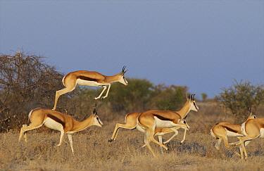 Springbok (Antidorcas marsupialis) leaping in pronking display, Kalahari Game Reserve, Botswana  -  Sean Crane