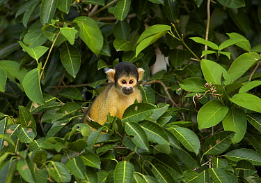 Bolivian Squirrel Monkey (Saimiri boliviensis), Chalalan, Madidi National Park, Bolivia  -  Sean Crane