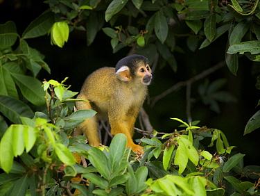 Bolivian Squirrel Monkey (Saimiri boliviensis) feeding, Chalalan, Madidi National Park, Bolivia  -  Sean Crane