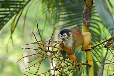 Black-crowned Central American Squirrel Monkey (Saimiri oerstedii) eating figs, Pavones, Costa Rica  -  Sean Crane