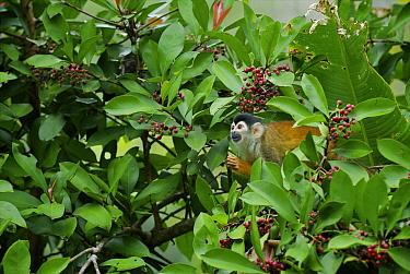 Black-crowned Central American Squirrel Monkey (Saimiri oerstedii) foraging for berries, Pavones, Costa Rica  -  Sean Crane