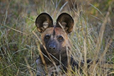 African Wild Dog (Lycaon pictus) peering through grass, Kwando Lagoon, Linyanti Swamp, Botswana  -  Sean Crane
