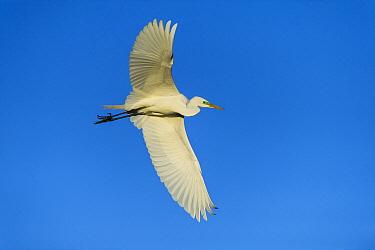 Great Egret (Ardea alba) flying, Little Saint Simon's Island, Georgia  -  Pete Oxford