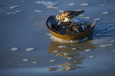 Ruddy Turnstone (Arenaria interpres) feeding on Horseshoe Crab (Limulus polyphemus) eggs from dead female, Little Saint Simon's Island, Georgia  -  Pete Oxford