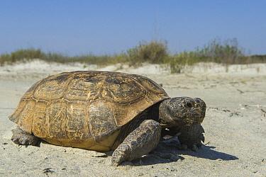 Florida Gopher Tortoise (Gopherus polyphemus), Orianne Indigo Snake Preserve, Georgia  -  Pete Oxford