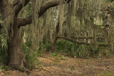 Spanish Moss (Tillandsia usneoides) growing on California Live Oaks (Quercus virginiana) and Saw Palmetto (Serenoa repens), Little Saint Simon's Island, Georgia  -  Pete Oxford