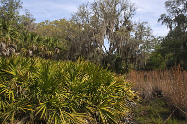 Spanish Moss (Tillandsia usneoides) growing on California Live Oaks (Quercus virginiana) and Saw Palmetto (Serenoa repens) in swamp, Little Saint Simon's Island, Georgia  -  Pete Oxford