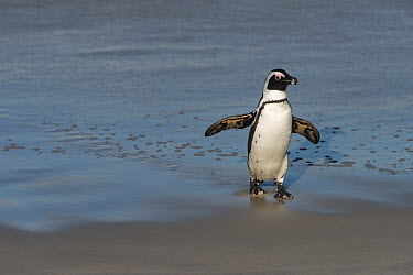 Black-footed Penguin (Spheniscus demersus) coming ashore, False Bay, Western Cape, South Africa  -  Pete Oxford