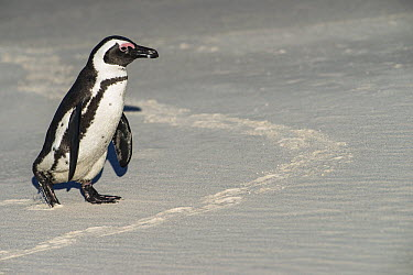 Black-footed Penguin (Spheniscus demersus) walking on beach, False Bay, Western Cape, South Africa  -  Pete Oxford