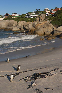 Black-footed Penguin (Spheniscus demersus) group coming ashore near homes, False Bay, Western Cape, South Africa  -  Pete Oxford