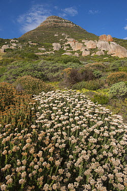 Fynbos vegetation, Sandy Bay, Karbonkelberg, Table Mountain National Park, Western Cape, South Africa  -  Pete Oxford