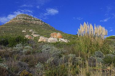 Fynbos vegetation, Sandy Bay, Karbonkelberg, Table Mountain National Park, Western Cape, South Africa  -  Pete Oxford