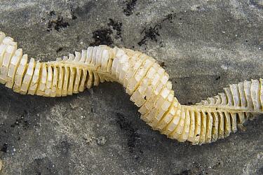 Whelk (Buccinidae) egg casings, Little Saint Simon's Island, Georgia  -  Pete Oxford