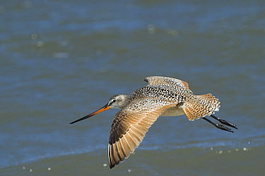Marbled Godwit (Limosa fedoa) flying, Little Saint Simon's Island, Georgia  -  Pete Oxford