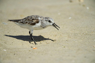 Sanderling (Calidris alba) feeding on Horseshoe Crab (Limulus polyphemus) eggs, Little Saint Simon's Island, Georgia  -  Pete Oxford