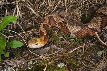 Copperhead (Agkistrodon contortrix) snake, northern Georgia  -  Pete Oxford