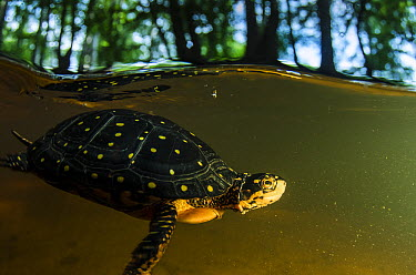 Spotted Turtle (Clemmys guttata) swimming in pond, Orianne Indigo Snake Preserve, Georgia  -  Pete Oxford