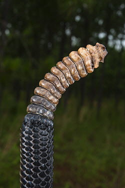 Timber Rattlesnake (Crotalus horridus) rattle, northern Georgia  -  Pete Oxford