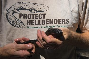 Eastern Hellbender (Cryptobranchus alleganiensis alleganiensis) held by conservationist, Coopers Creek, Chattahoochee-Oconee National Forest, Georgia  -  Pete Oxford