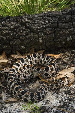 Pygmy Rattlesnake (Sistrurus miliarius), northern Georgia  -  Pete Oxford