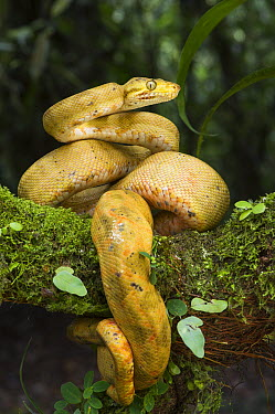 Common Tree Boa (Corallus hortulanus) yellow morph in defensive posture, native to South America  -  Pete Oxford