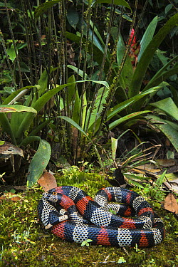 Milk Snake (Lampropeltis triangulum micropholis), native to South America  -  Pete Oxford