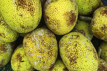 Breadfruit (Artocarpus altilis) being sold in market, Suva, Viti Levu, Fiji  -  Pete Oxford