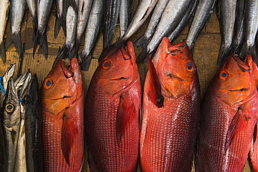 Northern Red Snapper (Lutjanus campechanus) and Barracuda (Sphyraena sp) being sold in market, Suva, Viti Levu, Fiji  -  Pete Oxford