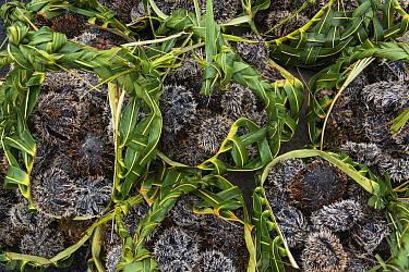 Sea urchins being sold in market, Suva, Viti Levu, Fiji  -  Pete Oxford
