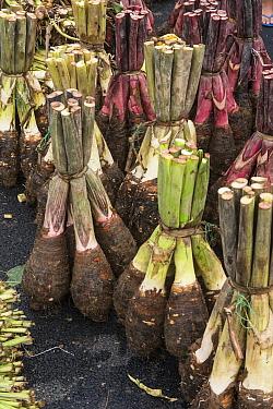 Taro (Colocasia esculenta) being sold in market, Suva, Viti Levu, Fiji  -  Pete Oxford